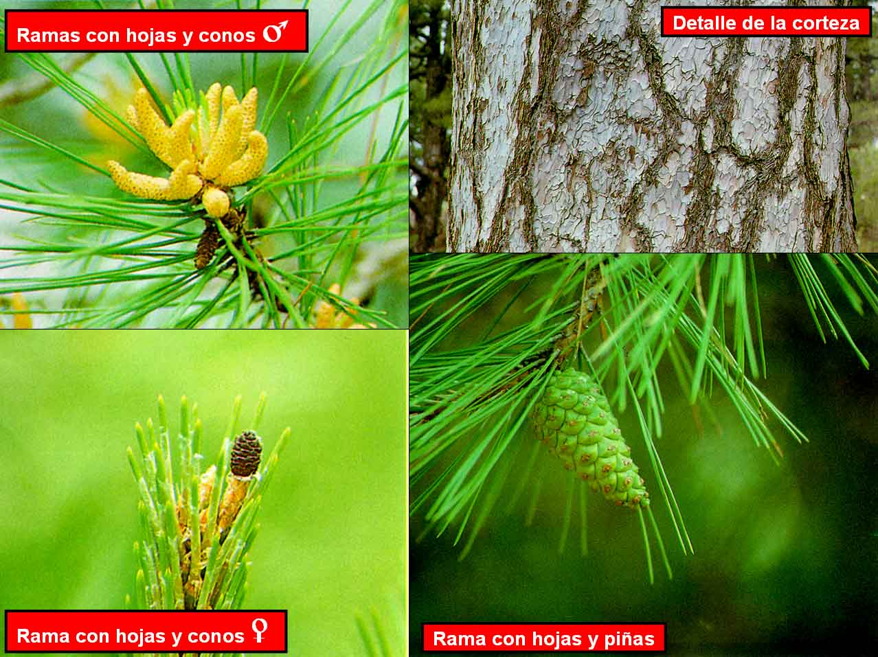 external image Pinus%20nigra%203.jpg