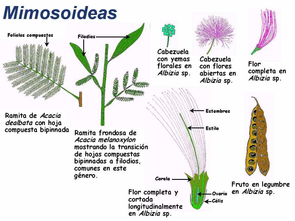 Familia Leguminosas ( Leguminosae)